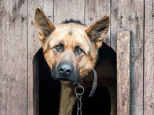 Fotomurales - german shepherd on a chain in a wooden doghouse