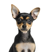 Fotomurales - Close-up of a German Pinscher puppy, 2 months old, isolated on w