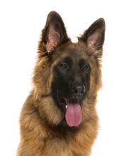 Fotomurales - Close-up German Shepherd in front of a white background