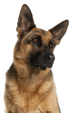 Fotomurales - Close-up of German Shepherd Dog, 4 years old