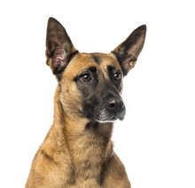 Fotomurales - Close-up of a German Shepherd in front of a white background