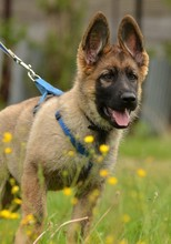 Fotomurales - german shepherd puppy
