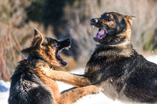 Fotomurales - Dog fight. Aggressive german shepherd.