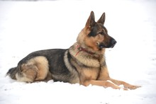 Fotomurales - A portrait of german shepherds in snow