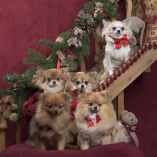 Fotomurales - Chihuahuas and german spitz, in christmas decorations