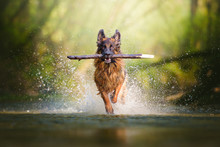 Fotomurales - German shepherd dog with a big branch on her mouth running on the water of a river