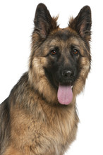Fotomurales - Close-up of German Shepherd Dog, 21 months old