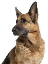 Fotomurales - Close-up of German Shepherd Dog, 10 years old