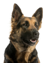 Fotomurales - Close-up of a German shepherd looking away, panting