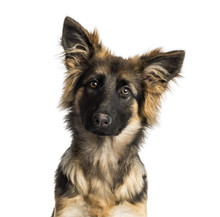 Fotomurales - Close-up of a German Shepherd Dog puppy, 4 months old, isolated