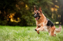 Fotomurales - Running german shepherd dog