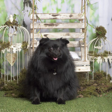 Fotomurales - Black german spitz sitting, in pastoral decoration