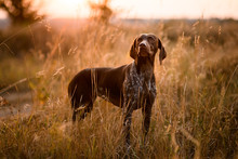 Fotomurales - Brown dog standing among dry grass in the field