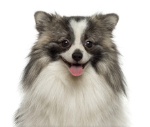 Fotomurales - Close-up of a happy German Spitz smiling