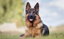 Fotomurales - Portrait of a German Shepherd
