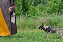 Fotomurales - german shepherd police training