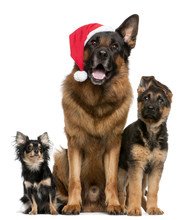 Fotomurales - Chihuahua and German Shepherds with Santa hat sitting