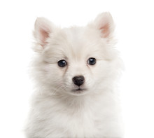 Fotomurales - Close up of a German Spitz puppy isolated on white