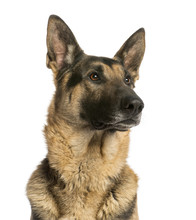 Fotomurales - Close-up of a German shepherd looking away, 4,5 years old