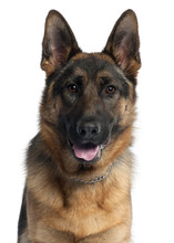 Fotomurales - Close-up of German Shepherd dog, 10 months old,