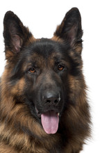 Fotomurales - Close-up of German Shepherd Dog, 2 years old
