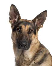 Fotomurales - Close-up of German Shepherd Dog, 2 and a half years old